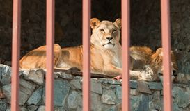 Pair of lions lying behind the bars. Stock Images