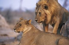 Pair of Lions resting Royalty Free Stock Image