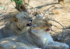 Pair of Lions resting after mating, both are snarling with mouths open, south luangwa national park, zambia Royalty Free Stock Image