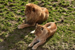Pair of lions. Threatening dangerous predator, hunting animals, king of the animals seen in zoos and safari, green grass lion on the background, hair, brown Stock Photo