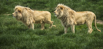 Pair of lions on the track. Pair of lions watching a prey in safari park against green grass background royalty free stock photography