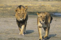 Pair of Lions walking on savannah Stock Photo