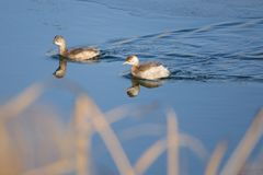 Little grebe. A pair of little grebe are swimming in winter reed marshes. Scientific name: Trachybaptus ruficollis Royalty Free Stock Photo