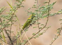 Pair of little green bee-eaters on perch Stock Photos