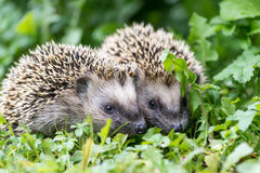 Pair of little hedgehogs outdoors. Pair of little hedgehogs are feeding on fresh green grass Royalty Free Stock Photos