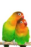 Pair of little lovebirds. Isolated on white Royalty Free Stock Images