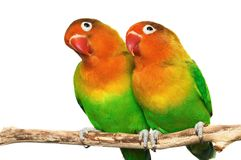 Pair of little lovebirds. Isolated on white Royalty Free Stock Photo