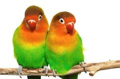 Pair of little lovebirds. Isolated on white Royalty Free Stock Image