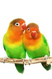 Pair of little lovebirds Royalty Free Stock Images