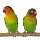 Pair of little lovebirds  isolated Royalty Free Stock Photo