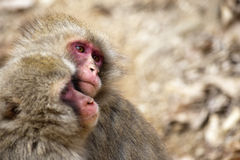 Pair of little monkeys in park Stock Photos