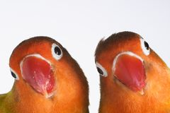 Pair of little parrots. Agapornis-fischeri Stock Images