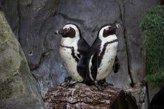 Couple of little penguins sunbathing back to back royalty free stock images