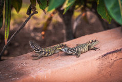Pair of lizards. Is basking in the sun Royalty Free Stock Photos