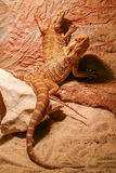 A pair of lizards. Stock Images