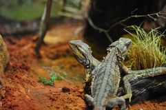Pair of Lizards Stock Photography