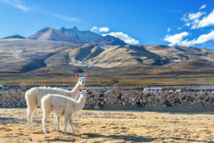 Pair of Llamas stock image