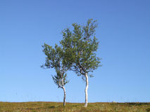 A pair of lonely birch trees. Double birches on a plain. Norwegian scenic photo Stock Image