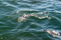 A pair of long beaked common dolphins on the coast of Gansbaai, stock image