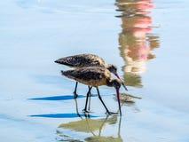 Pair or Long-billed Curlew. Numenius americanus Stock Photography