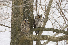 Pair of Long-eared Owl, Asio otus, perched in tree Royalty Free Stock Photos