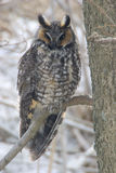 Pair of Long-eared Owl, Asio otus, perched in tree Stock Image