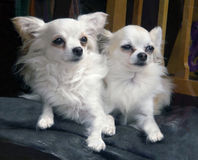 Pair Of Long-Haired Chihuahuas. Pair of  White Long-haired Chihuahua dogs in a store Window Stock Image