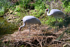 A pair of long legged brolga in Australia. The long legged brolga is an Australian bird which is mostly grey but has a red band around the top of it`s neck. It Stock Images