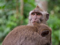 Pair of long tailed macaque grooming each other Stock Image