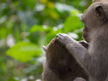 Pair of long tailed macaque grooming each other Stock Images
