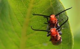Milkweed Longhorn Beetle. A pair of longhorn beetles in genus Tetraopes  mating on a milkweed leaf stock image