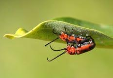Milkweed Longhorn Beetle. A pair of longhorn beetles in genus Tetraopes  mating on a milkweed leaf stock photo