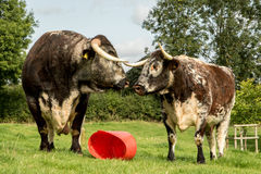 Two Longhorn Cows in love. A pair of longhorn cows well known for their large horns staring at each other with red bucket Royalty Free Stock Image
