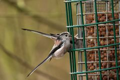 A Pair Of Long-tailed Tits stock photo