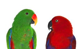 Pair of lori parrots Royalty Free Stock Photography