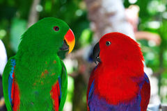 Pair of lori parrots Royalty Free Stock Photos