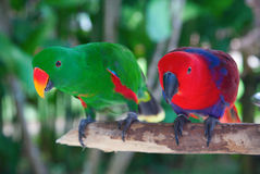 Pair of lori parrots Stock Image
