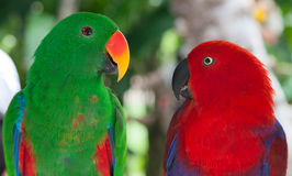 Pair of lori parrots Royalty Free Stock Images
