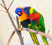 A pair of Lorikeets Royalty Free Stock Photography