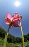 Pair of lotus. Under the sun stock photo