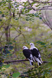 A pair of love birds on the branch of a tree. Royalty Free Stock Photography