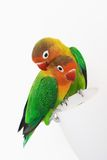 Pair of lovebirds. Pair of little african parrots lovebirds agapornis-fischeri Stock Photo