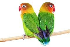 Pair of lovebirds. Agapornis-fischeri isolated on white royalty free stock image