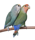 A Pair Of Lovebirds Stock Images