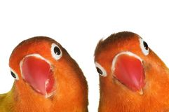 Pair of lovebirds Royalty Free Stock Image