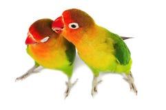 Pair of lovebirds. Agapornis-fischeri isolated on white stock photos