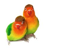 Pair of lovebirds. Agapornis-fischeri isolated on white royalty free stock photos
