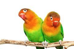 Pair of lovebirds Royalty Free Stock Photo