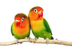 Pair of lovebirds. Agapornis-fischeri isolated on white royalty free stock photography