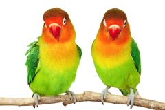 Pair of lovebirds. Agapornis-fischeri isolated on white stock image